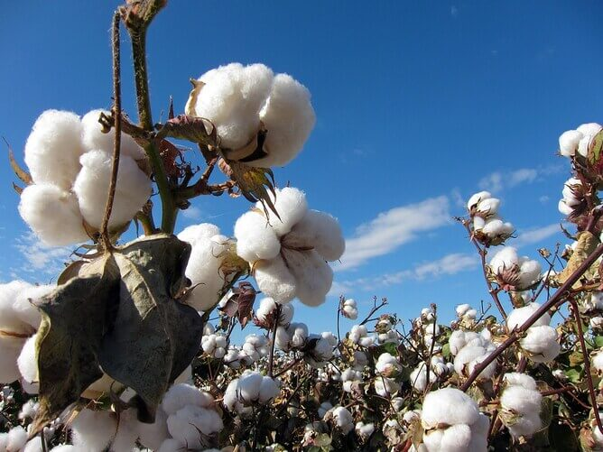 Farm to closet clothing: The benefits of choosing cotton